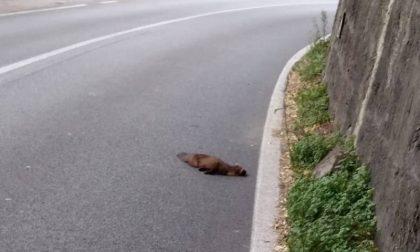 Volpe morta sulla strada