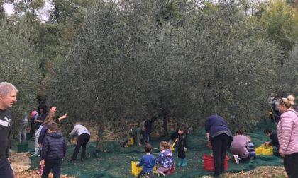 Raccolta delle olive alla scuola di Sofignano