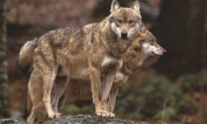 Greve in Chianti, avvistato un lupo nella zona di Meleto, ma era un pastore cecoslovacco