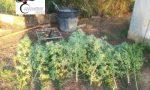 Scoperta piantagione di cannabis, due arresti