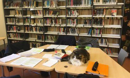 Pepito, il gatto sempre in biblioteca diventato mascotte degli studenti