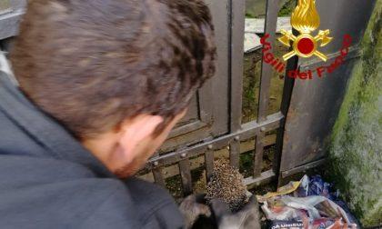 Riccio incastrato in un cancello: salvato