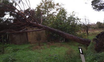 Pino abbattuto dal temporale sulla SR 429 FOTO