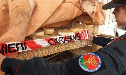 A Signa denunciato un allevatore: sequestrati una 30ina di formaggi – LE FOTO
