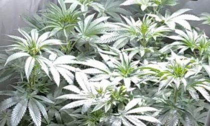 Sorpreso 52enne fiorentino con due serre di marijuana