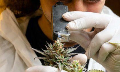 Mystical, in provincia di Firenze arriva la coltivazione digitale della cannabis