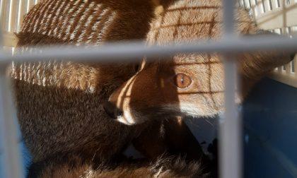 Liberata sulle colline di Firenze la volpe che aveva ha dormito nel matroneo della Chiesa di Sant'Egidio a Santa Maria Nuova