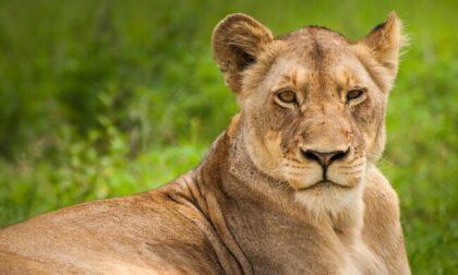 Avvistata una leonessa nel senese