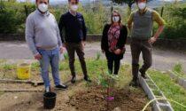 Alla scuola Pontormo piantato... un fico