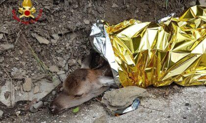 Cucciolo di cerbiatto ferito messo in salvo a Cantagallo dai vigili del fuoco