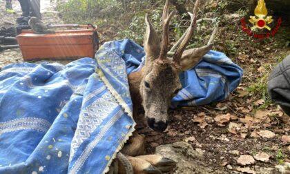 I Vigili del Fuoco di Montemurlo salvano un giovane capriolo rimasto impigliato fra i rovi